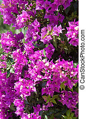 Flowering bougainvillea branch