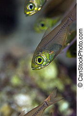 golden sweeper (parapriacanthus ransonneti)taken in the Red...