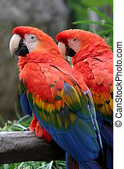 Scarlet Macaw - The Scarlet Macaw is a large colorful...
