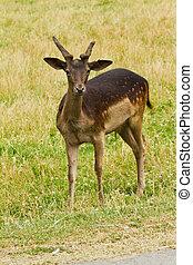 Wild deer in nature  - Wild deer in nature