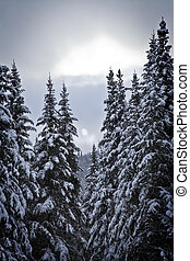 Snowy forest  - Snowy forest