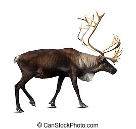 Reindeer over white background shade - Reindeer (Rangifer...