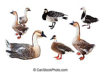 Set of few geese over white - Set of few geese. Isolated...