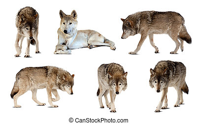 Set of few wolves over white with shade - Set of few wolves...