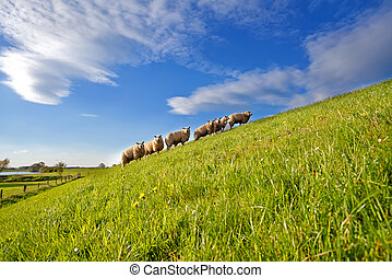 sheep herd on summer pasture with many flowers