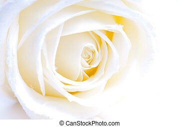 abstract white rose macro - slightly overexposed macro of a...