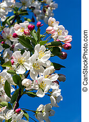 Flowering Crab Apple Limb - Dazzling white flower blossoms...