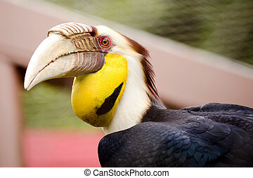 Portrait of wreathed hornbill