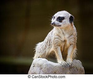 Alert meercat