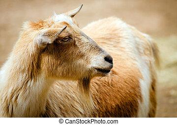 Portrait of billy goat on farm