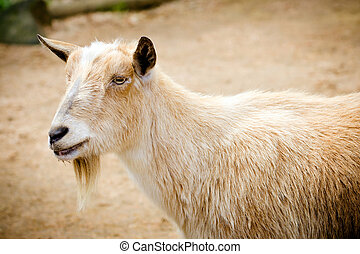 Portrait of billy goat on farm