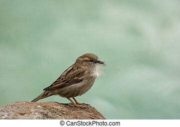 little sparrow - a sparrow with a feather in its pecker