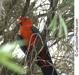 male king parrot - king parrot in australian woodlands