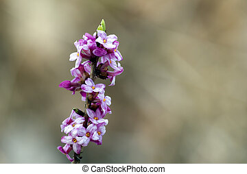 Mezereon (Daphne mezereum) the toxic beauty - The beautiful...