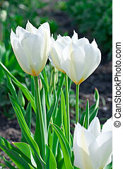 white tulips in a flowerbed