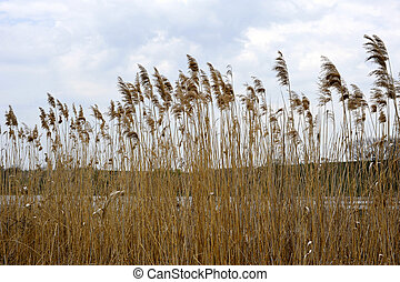 High dry reed on a lake against clear blue sky