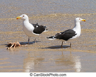 Two Great Black-backed Gulls guarding a crab.
