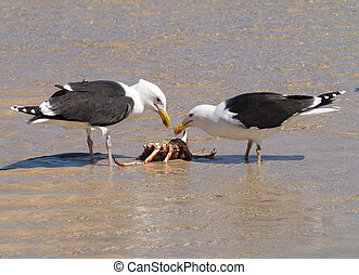 Two Great Black-backed Gulls eating a crab.