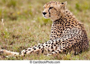 Resting Alone Cheetah, Serengeti National Park, Tanzania