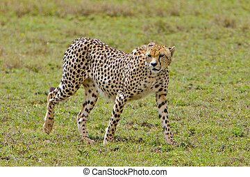 Walking Cheetah, Serengeti National Park, Tanzania