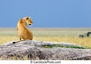 Siting Alone Simba, Serengeti National Park, Tanzania