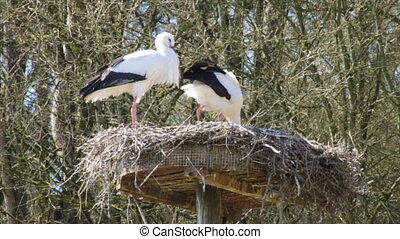 breeding storks - couple of storks in their nest