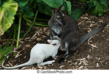 Kangaroos - An albino joey about to climb into the mother...