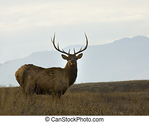 Older Male Elk with Large Rack of Horns National Bison Range Charlo Montana