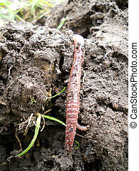 earthworm in action - earthworm