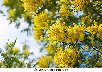 yellow Acacia branches against sky
