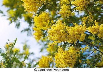 amarillo, Acacia, ramas