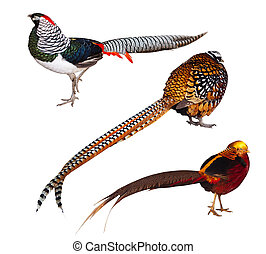 Conjunto, faisán, Aves, aislado, encima, blanco