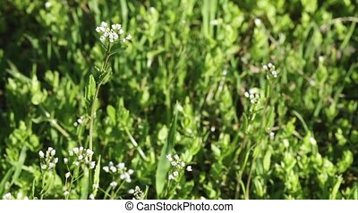 Spring flowers - White wild flowers in spring
