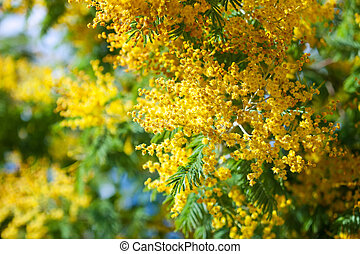 Blossoming spring Acacia dealbata with buds on blur