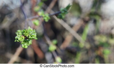 Bud cherry - Young leaves of a cherry on a background of...