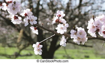 Apricot flowers - Flowering apricot tree branch against...