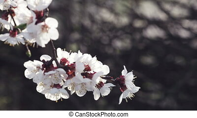 Cherry blossoms backlit - Cherry branch, backlit against the...