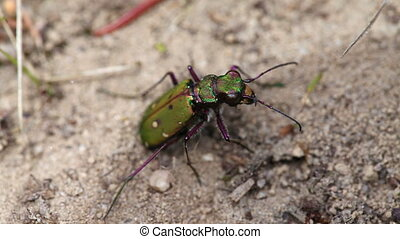Tiger Beetle laying eggs - Field Tiger Beetle laying eggs -...