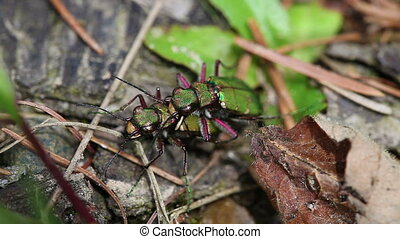 Field Tiger Beetle - mating - Field Tiger Beetle in mating -...