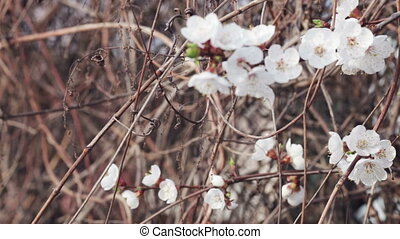 Cherry blossoms - Branch with cherry flowers on old branches