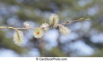 Flowering willow - Flowers willow on a background of blue...