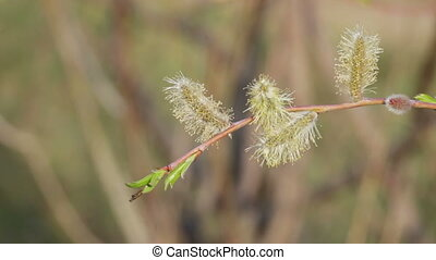 Inflorescence willow - Flowers willow on a background of...