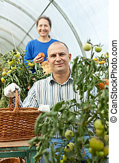 Woman and man in tomato plant