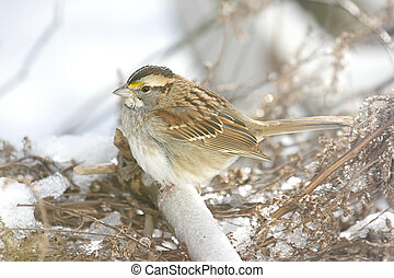 Snow Bird - White-throated Sparrow (zonotrichia albicollis)...