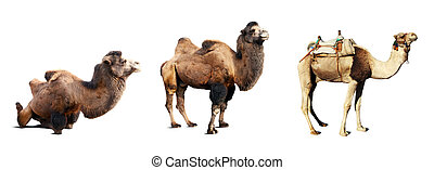 Set of camels Isolated on white background with shade