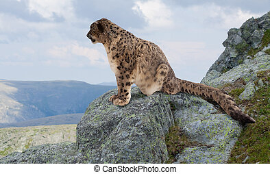Snow leopard at wildness area - Snow leopard on rocky at...
