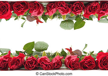 fresh red roses as frame isolated on the white background