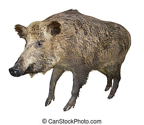 Wild boar pig, isolated over white background