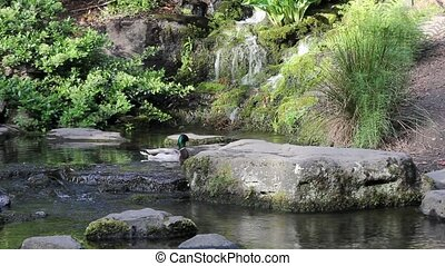 Waterfall with Pair of Ducks 1080p - Waterfall with Plants,...