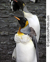 A molting King Penguin which appears to be wearing a boa,...